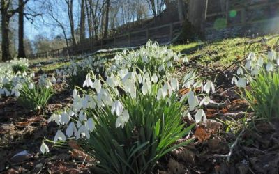 NGS launches their 4th annual Snowdrop Festival