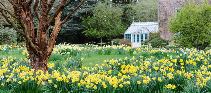 Daffodils at Backhouse Rossie