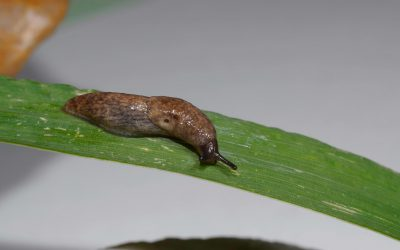 Metaldehyde used for slug control is to be banned.