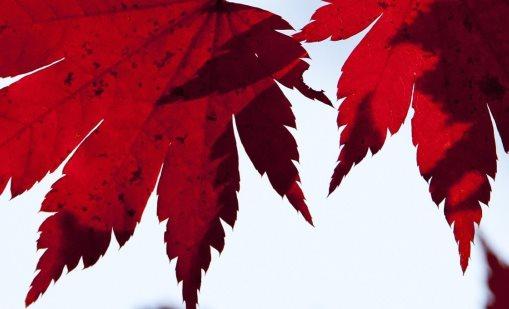 Acer Leaves