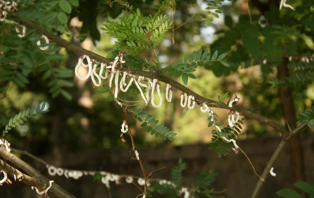 cotton stringy scale